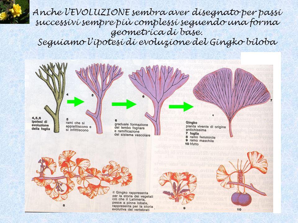Anche l'EVOLUZIONE sembra aver disegnato per passi successivi sempre più complessi seguendo una forma geometrica di base.