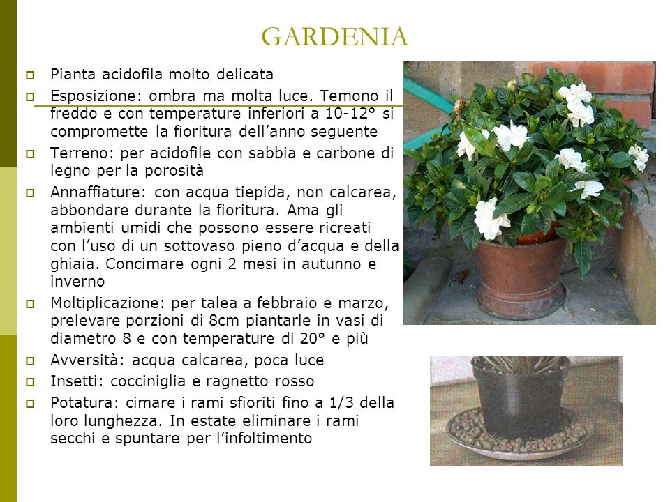 GARDENIA Pianta acidofila molto delicata