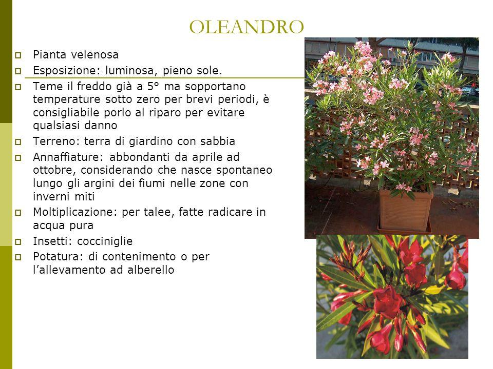 OLEANDRO Pianta velenosa Esposizione: luminosa, pieno sole.