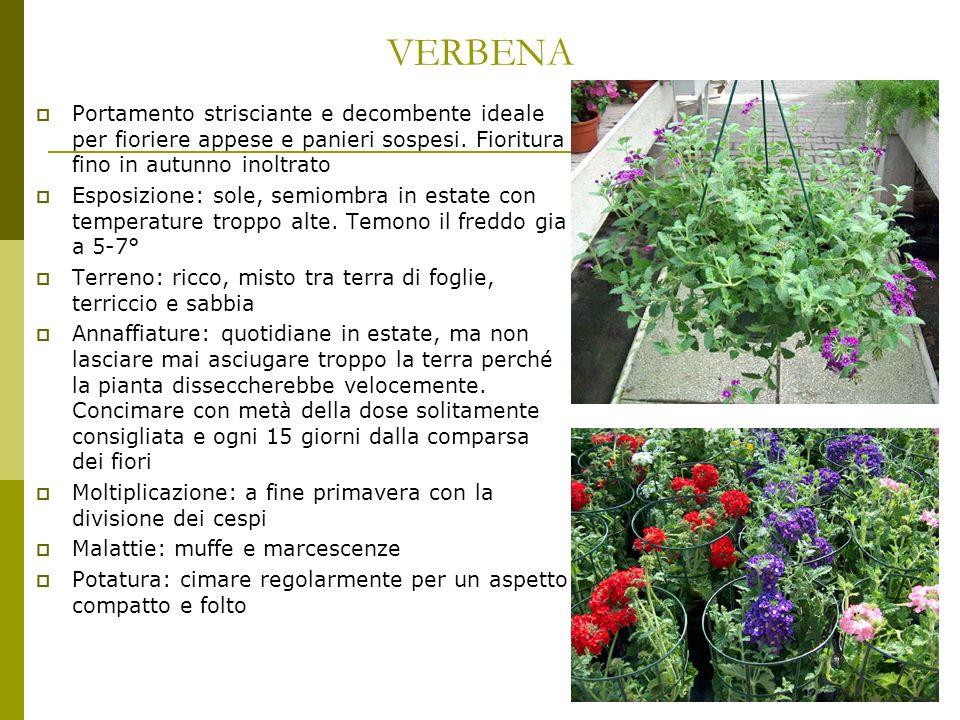 VERBENA Portamento strisciante e decombente ideale per fioriere appese e panieri sospesi. Fioritura fino in autunno inoltrato.