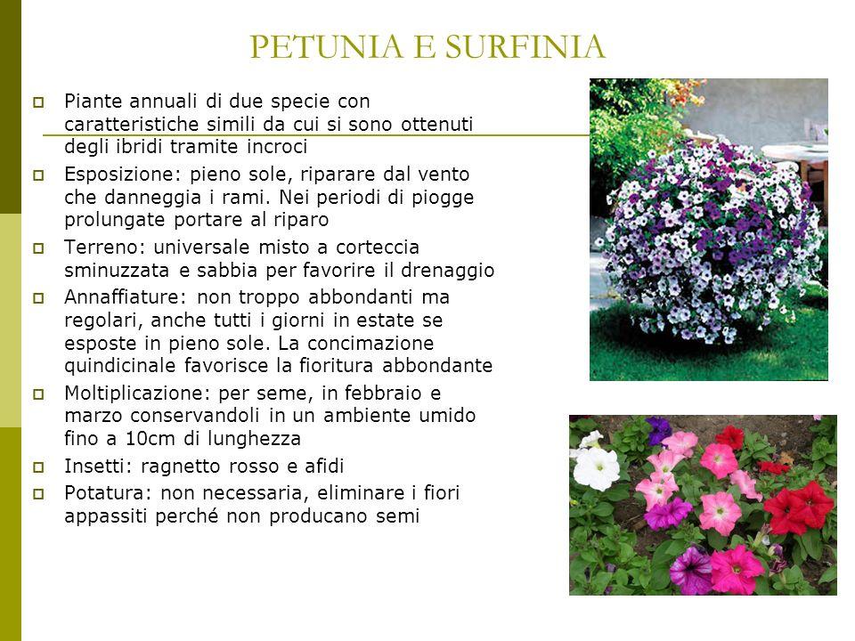 PETUNIA E SURFINIA Piante annuali di due specie con caratteristiche simili da cui si sono ottenuti degli ibridi tramite incroci.