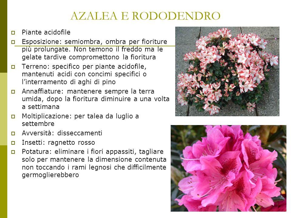 AZALEA E RODODENDRO Piante acidofile