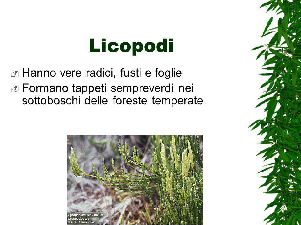 Licopodi Hanno vere radici, fusti e foglie