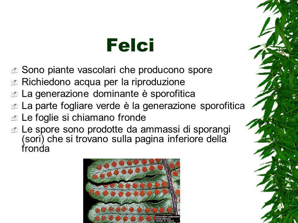 Felci Sono piante vascolari che producono spore