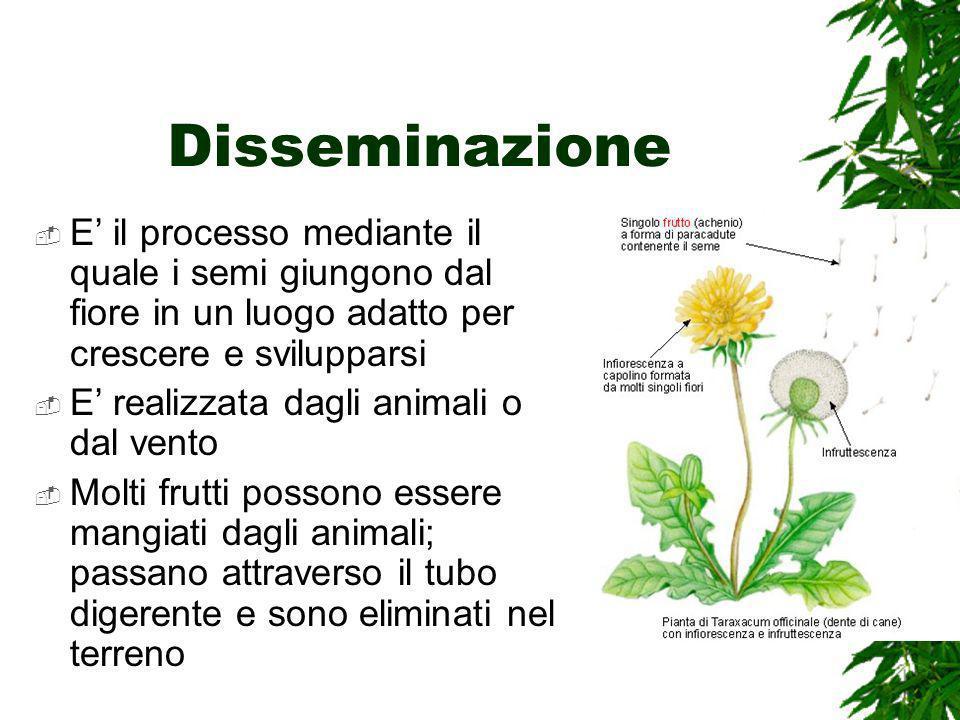 Disseminazione E' il processo mediante il quale i semi giungono dal fiore in un luogo adatto per crescere e svilupparsi.