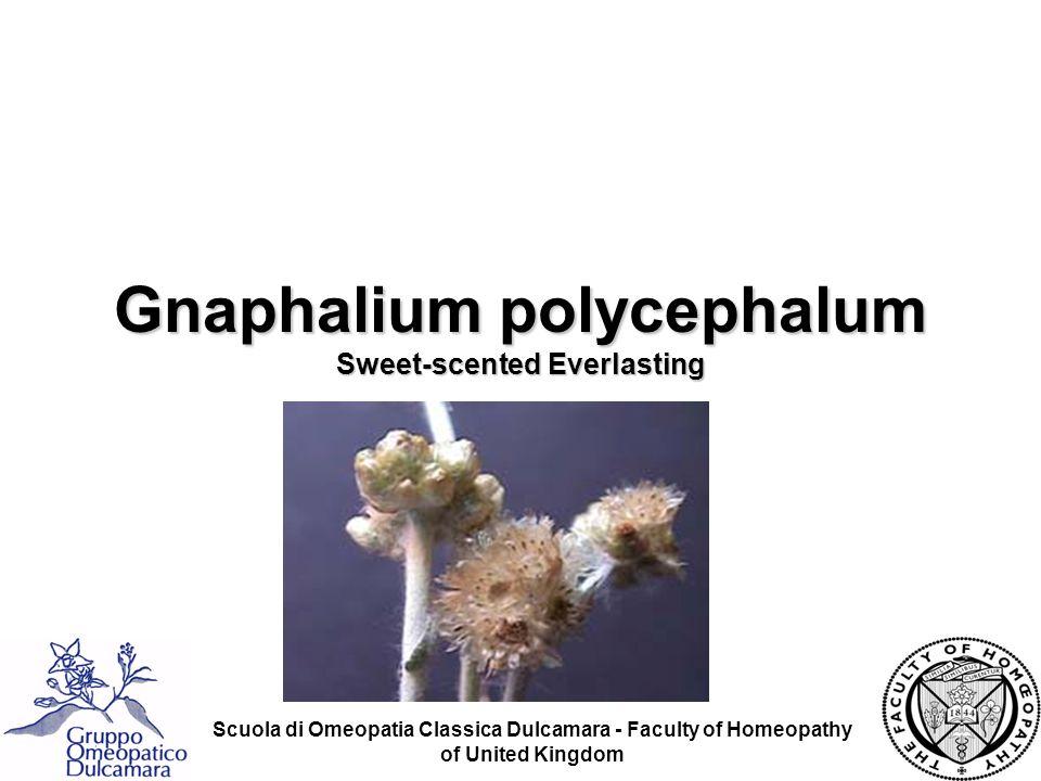 Gnaphalium polycephalum Sweet-scented Everlasting