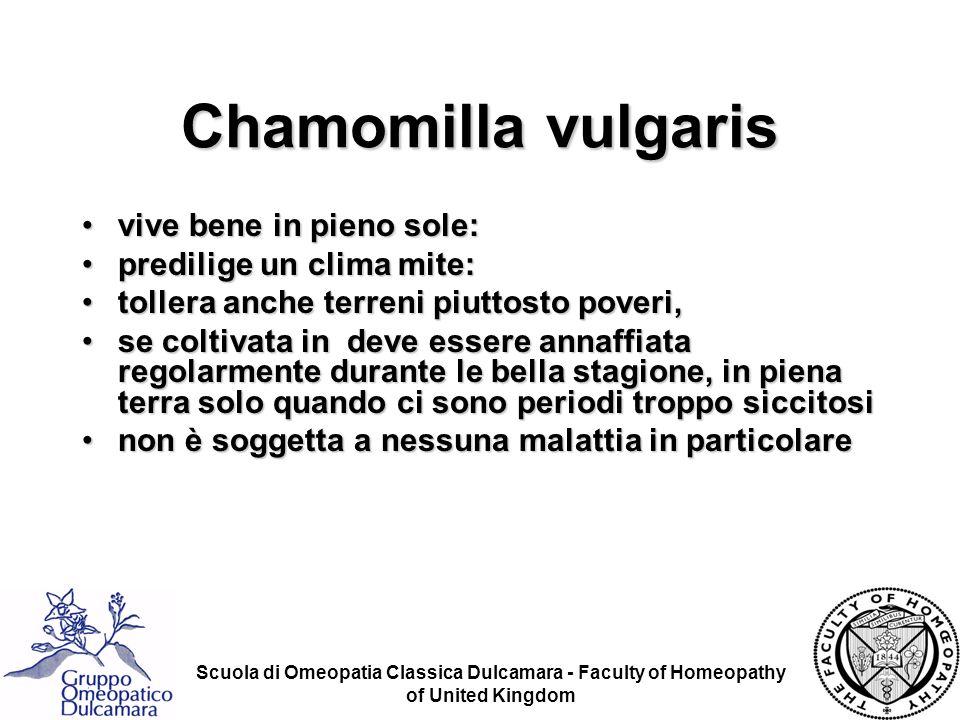Chamomilla vulgaris vive bene in pieno sole: predilige un clima mite: