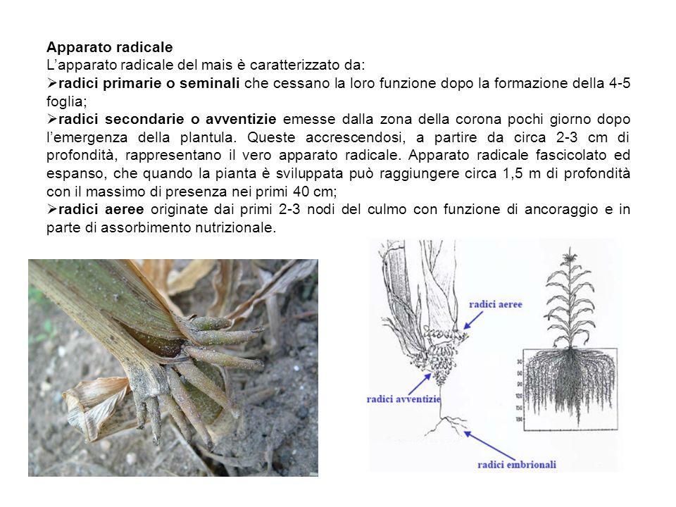 Apparato radicale L'apparato radicale del mais è caratterizzato da: