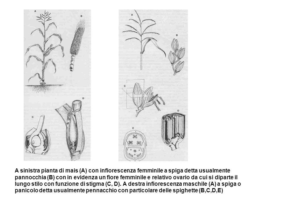A sinistra pianta di mais (A) con infiorescenza femminile a spiga detta usualmente