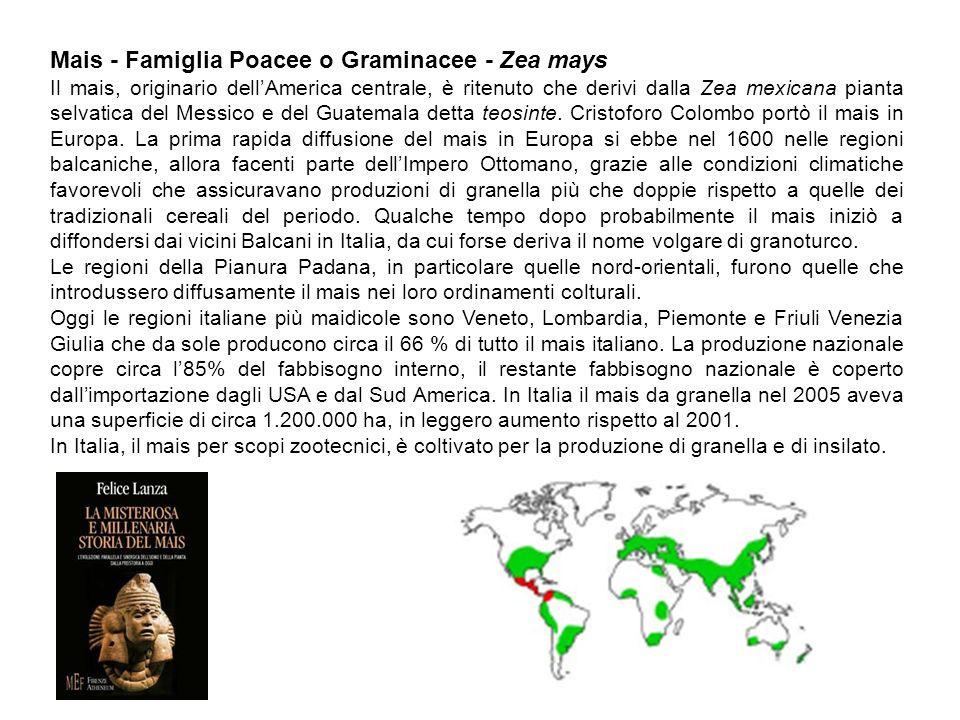 Mais - Famiglia Poacee o Graminacee - Zea mays