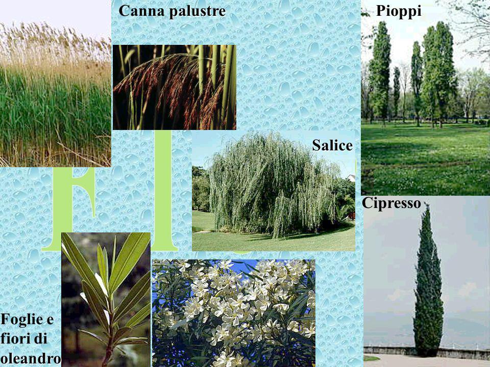 Canna palustre Pioppi Salice Cipresso Foglie e fiori di oleandro