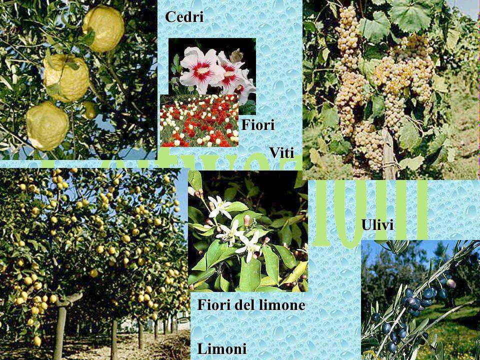 Cedri Coltivazioni Fiori Viti Ulivi Fiori del limone Limoni