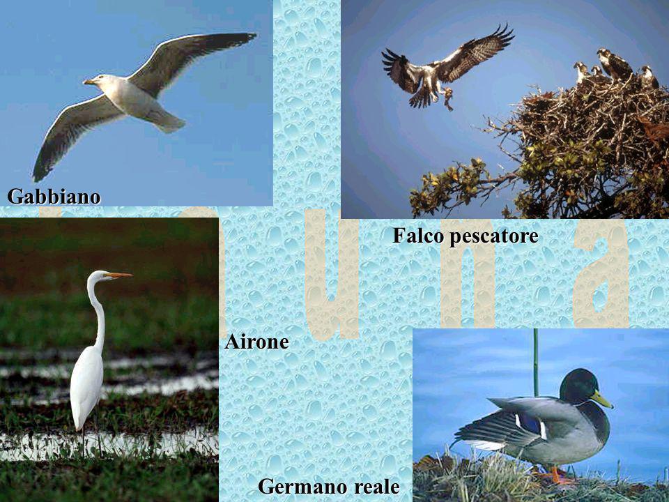 F a u n a Gabbiano Falco pescatore Airone Germano reale