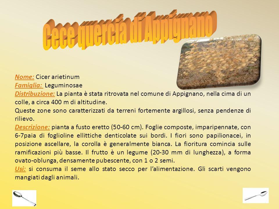 Cece quercia di Appignano