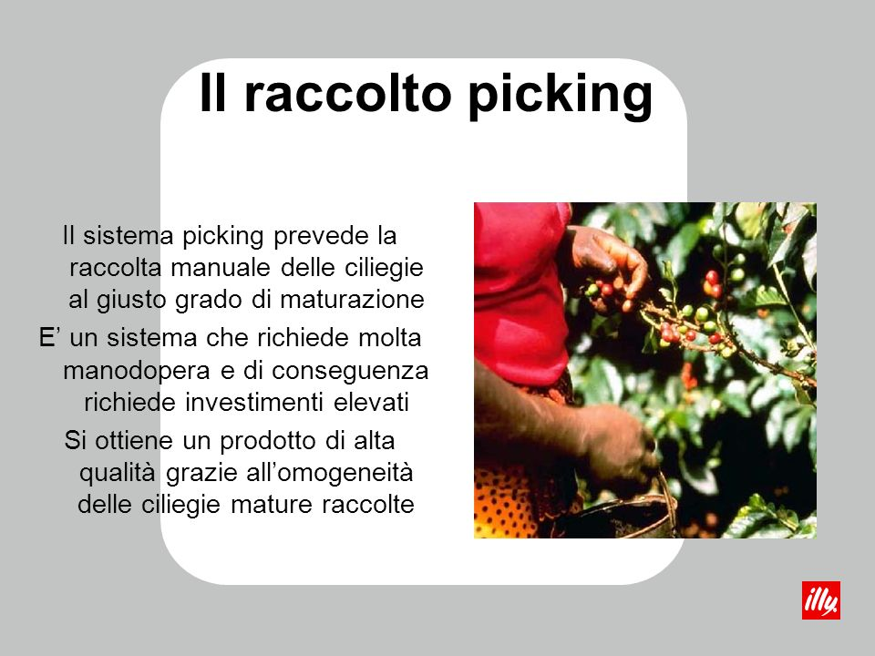 Il raccolto picking Il sistema picking prevede la raccolta manuale delle ciliegie al giusto grado di maturazione.
