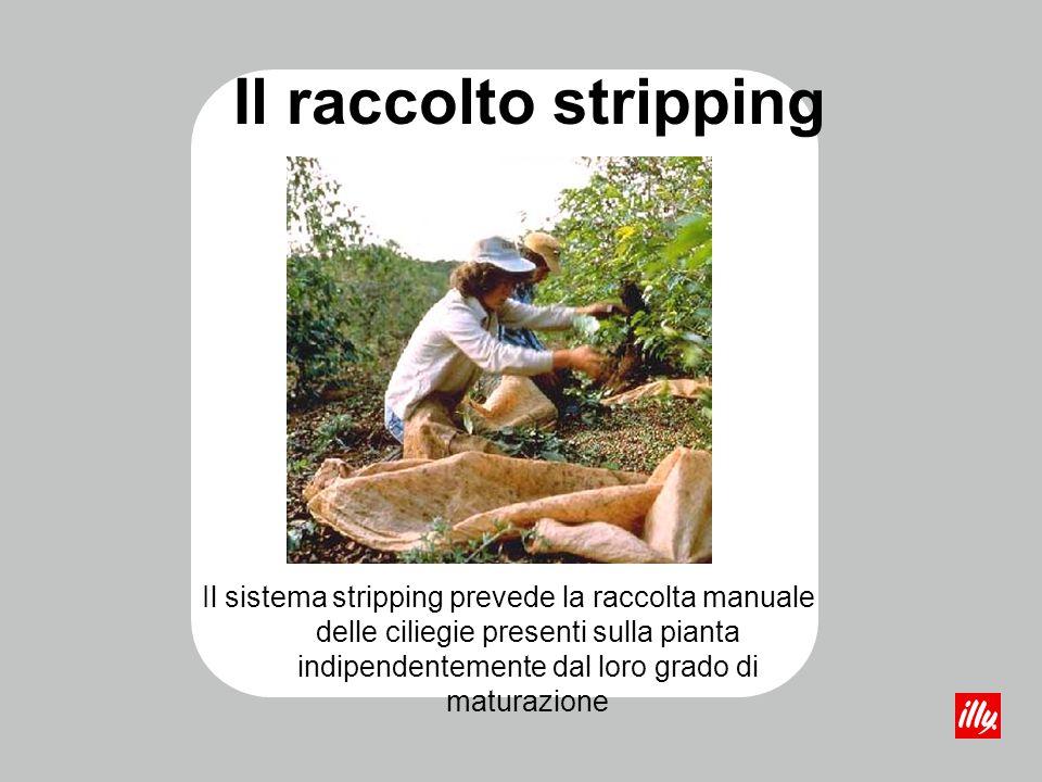 Il raccolto stripping