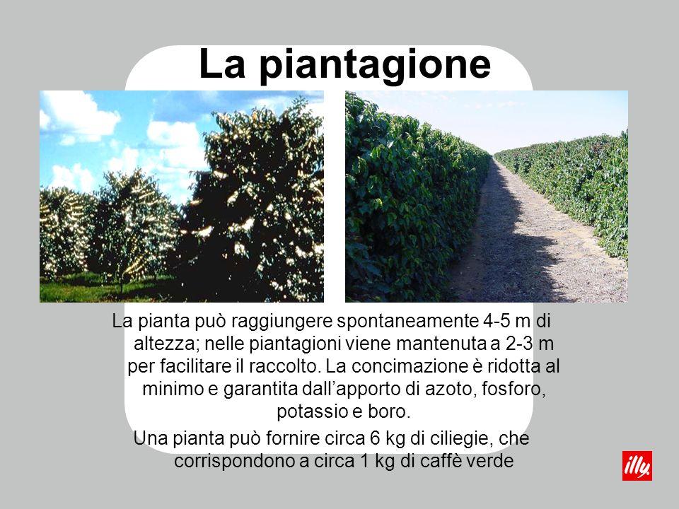 La piantagione