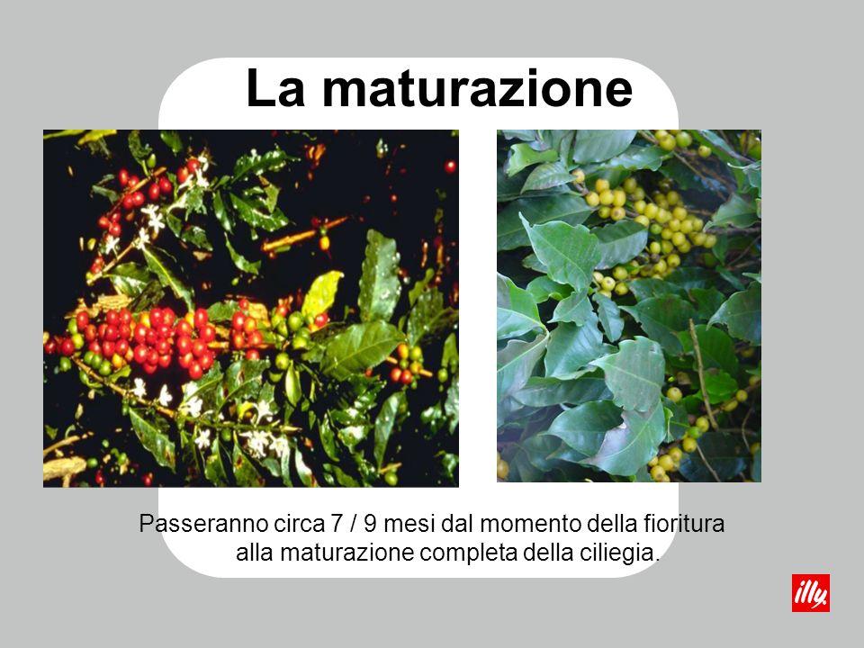 La maturazione Passeranno circa 7 / 9 mesi dal momento della fioritura alla maturazione completa della ciliegia.