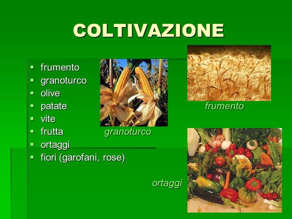 COLTIVAZIONE frumento granoturco olive patate frumento vite