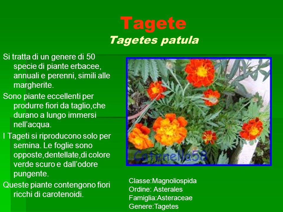 Tagete Tagetes patula Si tratta di un genere di 50 specie di piante erbacee, annuali e perenni, simili alle margherite.