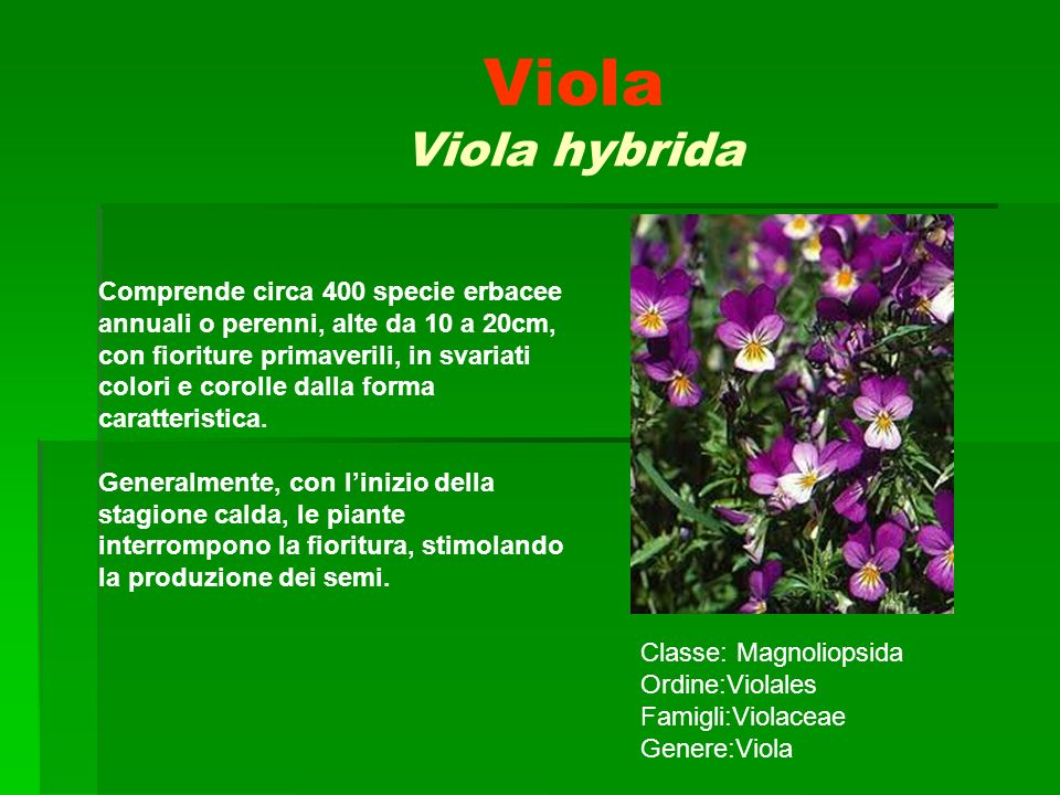 Viola Viola hybrida