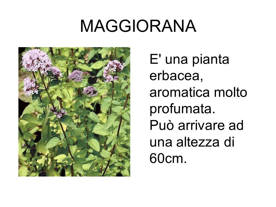 MAGGIORANA E una pianta erbacea, aromatica molto profumata.