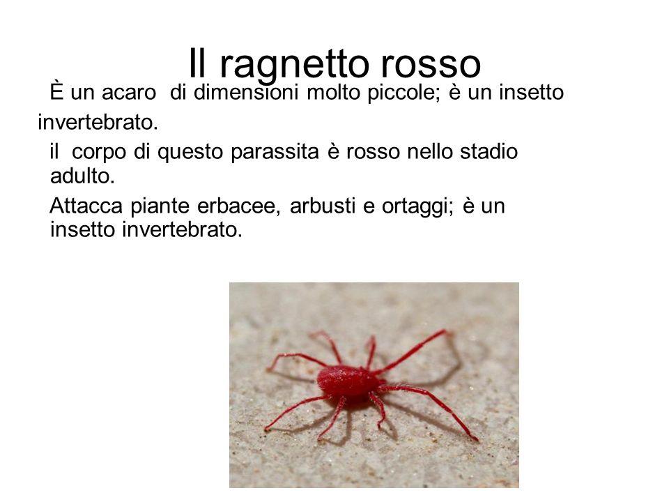 Il ragnetto rosso È un acaro di dimensioni molto piccole; è un insetto