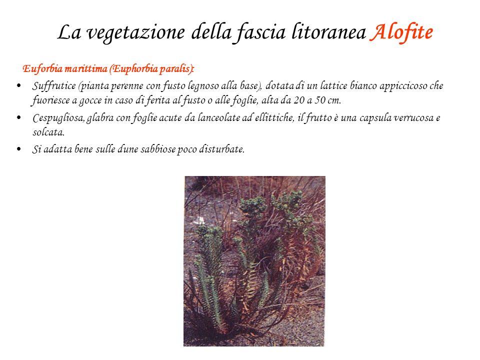La vegetazione della fascia litoranea Alofite