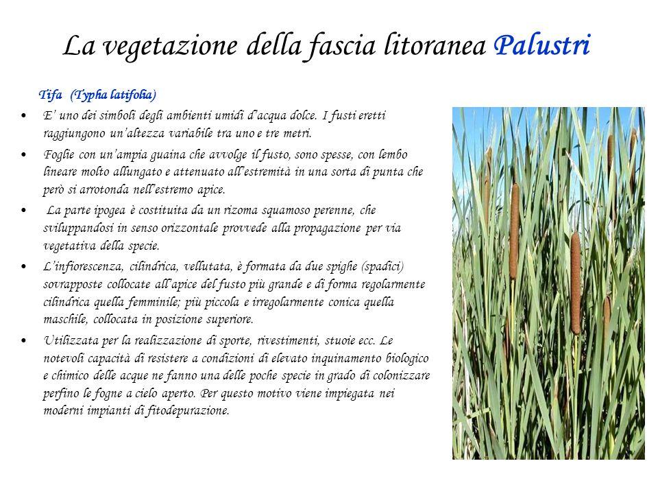 La vegetazione della fascia litoranea Palustri