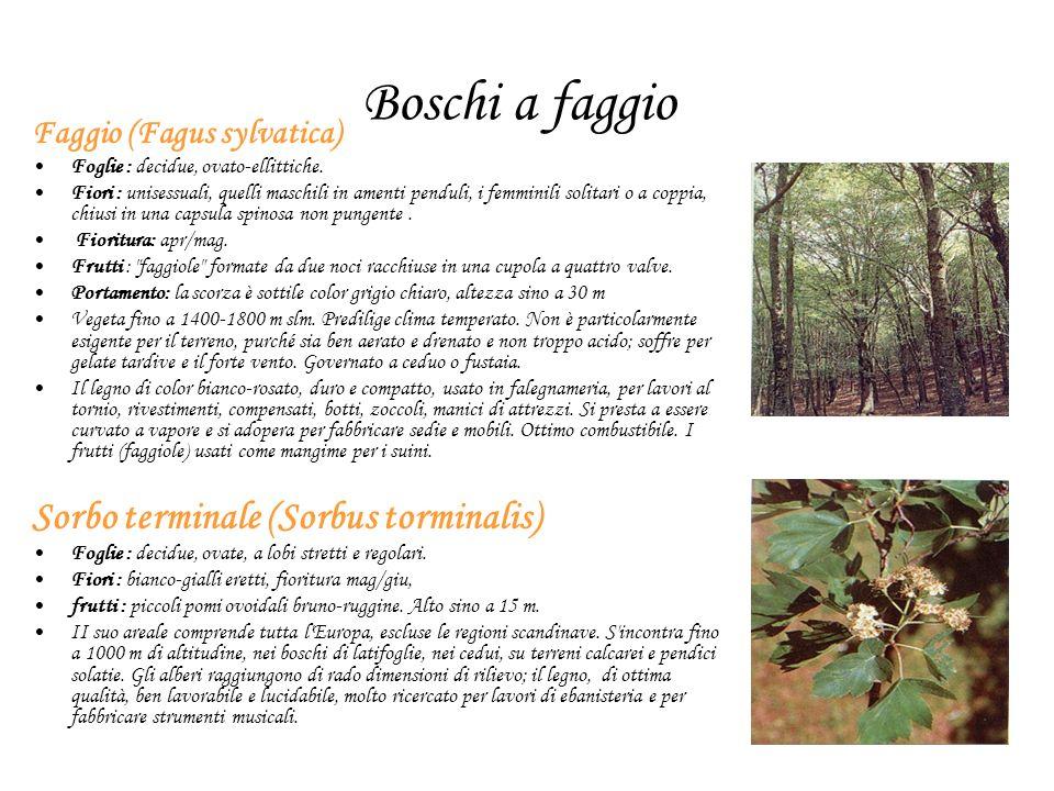 Boschi a faggio Sorbo terminale (Sorbus torminalis)