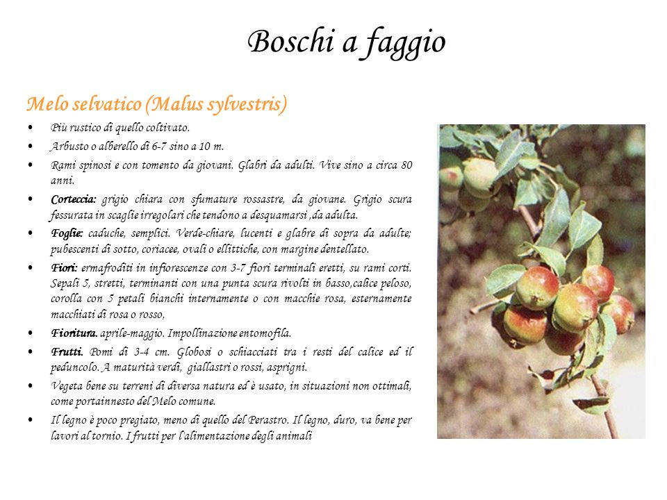 Boschi a faggio Melo selvatico (Malus sylvestris)