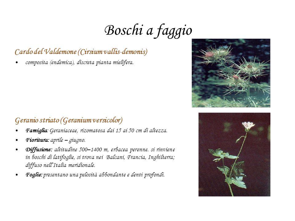 Boschi a faggio Cardo del Valdemone (Cirsium vallis-demonis)