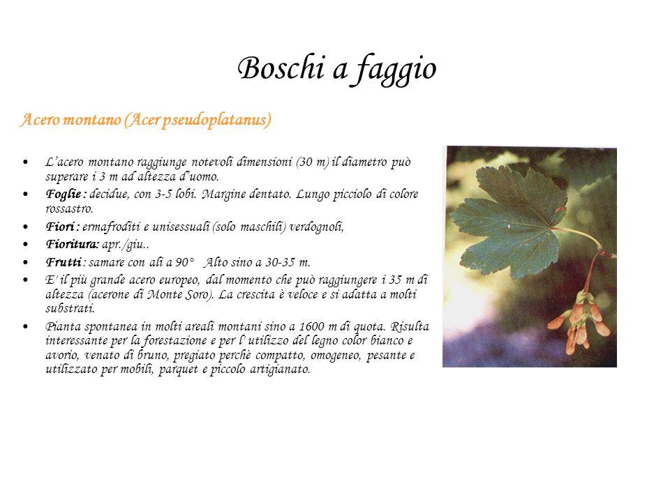 Boschi a faggio Acero montano (Acer pseudoplatanus)