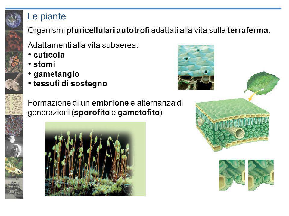 Le piante Organismi pluricellulari autotrofi adattati alla vita sulla terraferma. Adattamenti alla vita subaerea: