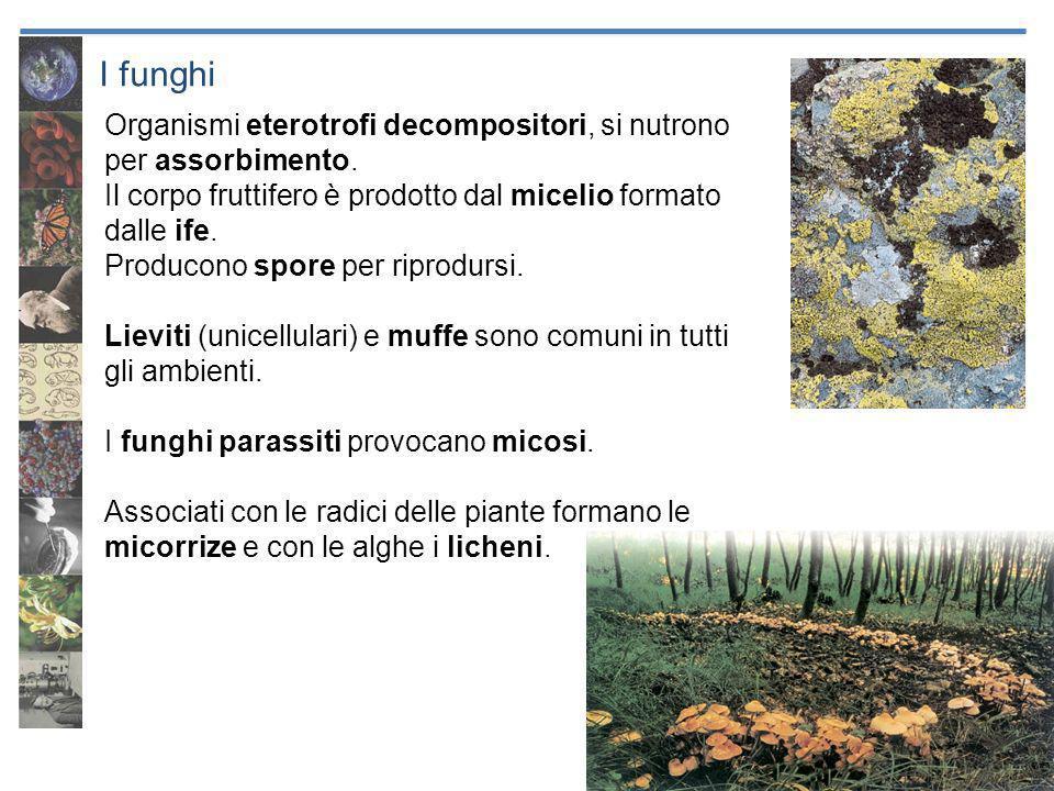 I funghi Organismi eterotrofi decompositori, si nutrono per assorbimento. Il corpo fruttifero è prodotto dal micelio formato dalle ife.