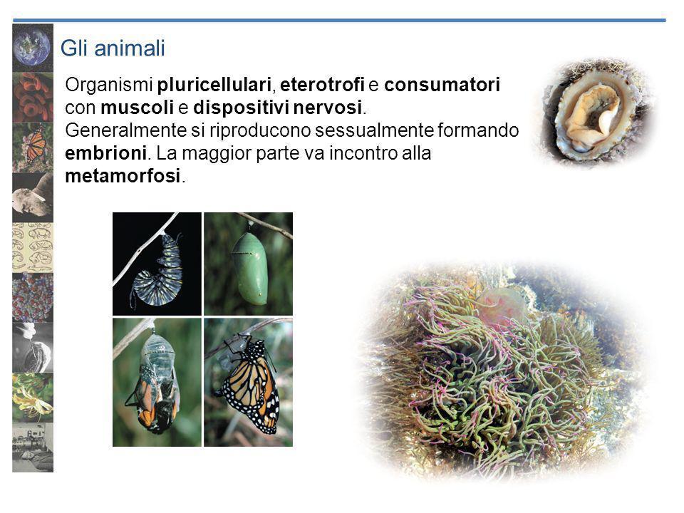 Gli animali Organismi pluricellulari, eterotrofi e consumatori