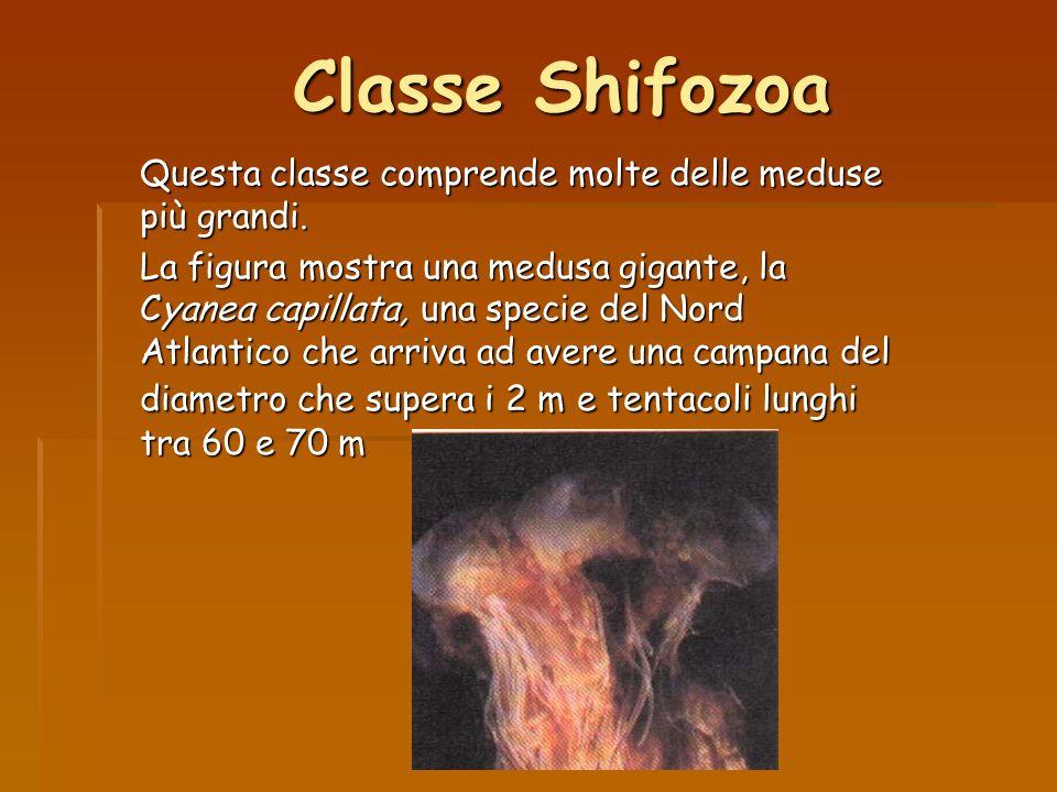 Classe Shifozoa Questa classe comprende molte delle meduse più grandi.