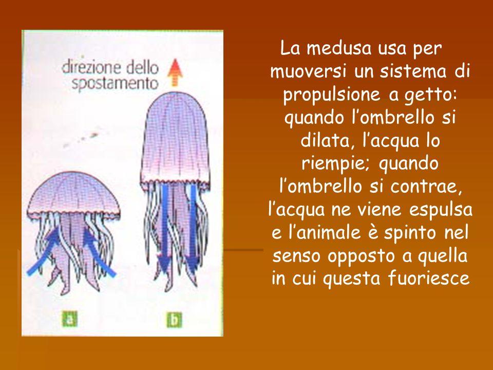La medusa usa per muoversi un sistema di propulsione a getto: quando l'ombrello si dilata, l'acqua lo riempie; quando l'ombrello si contrae, l'acqua ne viene espulsa e l'animale è spinto nel senso opposto a quella in cui questa fuoriesce