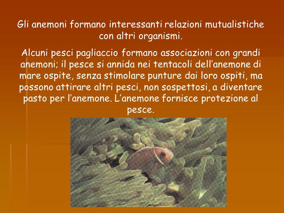 Gli anemoni formano interessanti relazioni mutualistiche con altri organismi.
