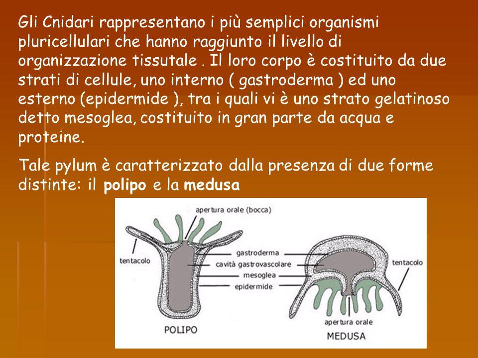 Gli Cnidari rappresentano i più semplici organismi pluricellulari che hanno raggiunto il livello di organizzazione tissutale . Il loro corpo è costituito da due strati di cellule, uno interno ( gastroderma ) ed uno esterno (epidermide ), tra i quali vi è uno strato gelatinoso detto mesoglea, costituito in gran parte da acqua e proteine.