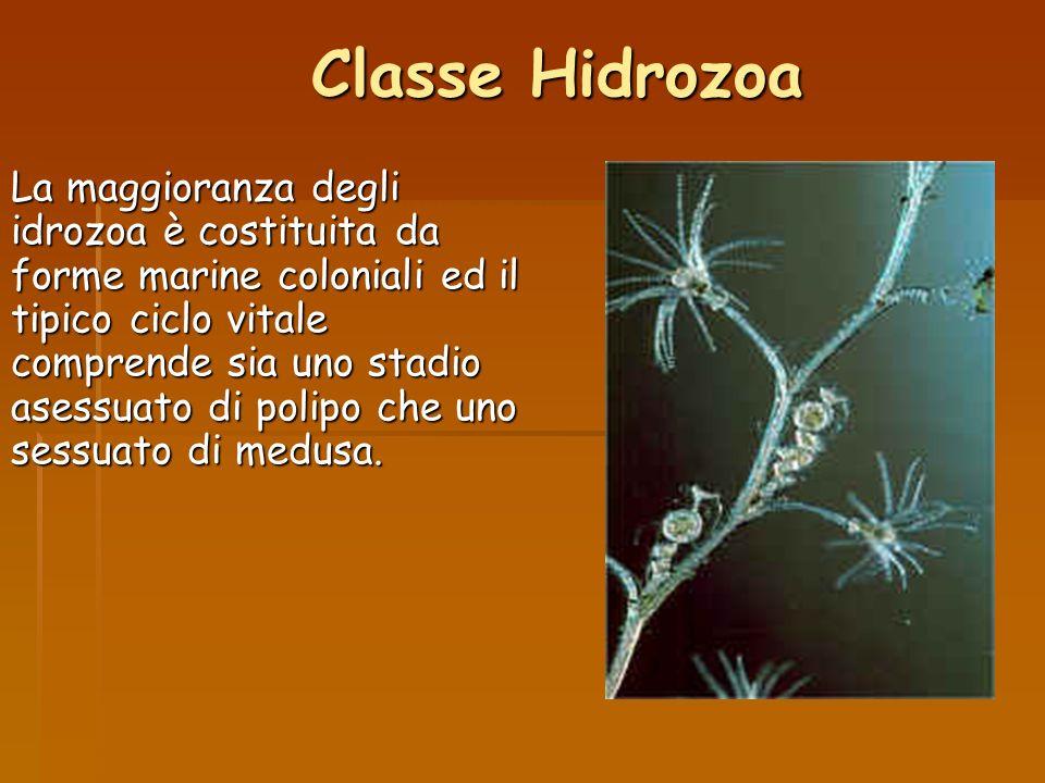Classe Hidrozoa