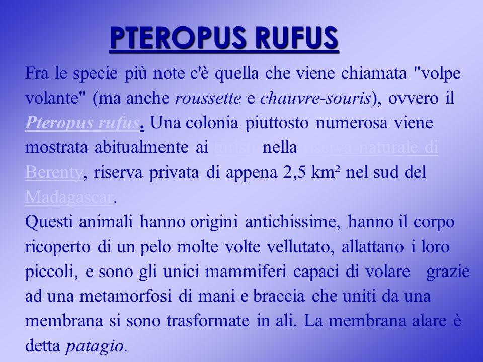 PTEROPUS RUFUS Fra le specie più note c è quella che viene chiamata volpe. volante (ma anche roussette e chauvre-souris), ovvero il.