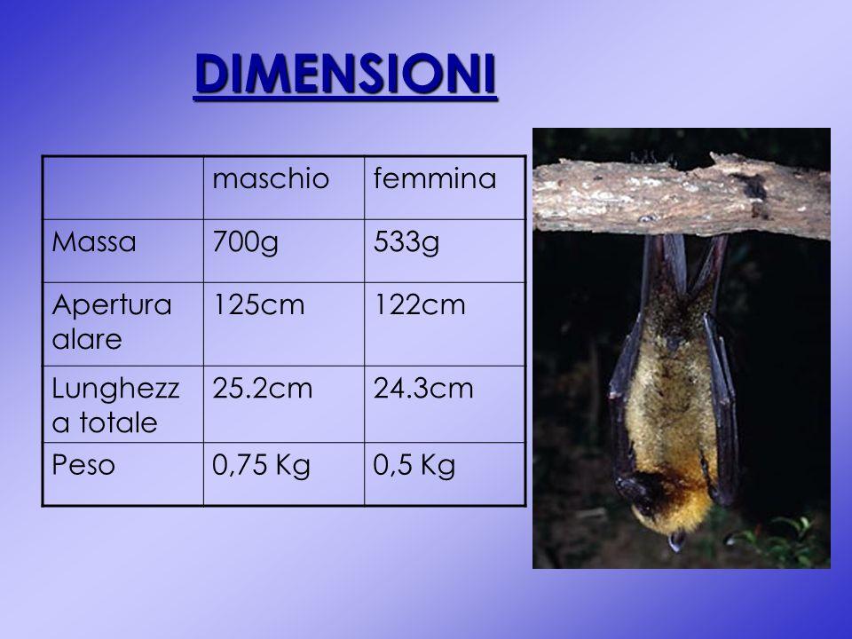 DIMENSIONI maschio femmina Massa 700g 533g Apertura alare 125cm 122cm