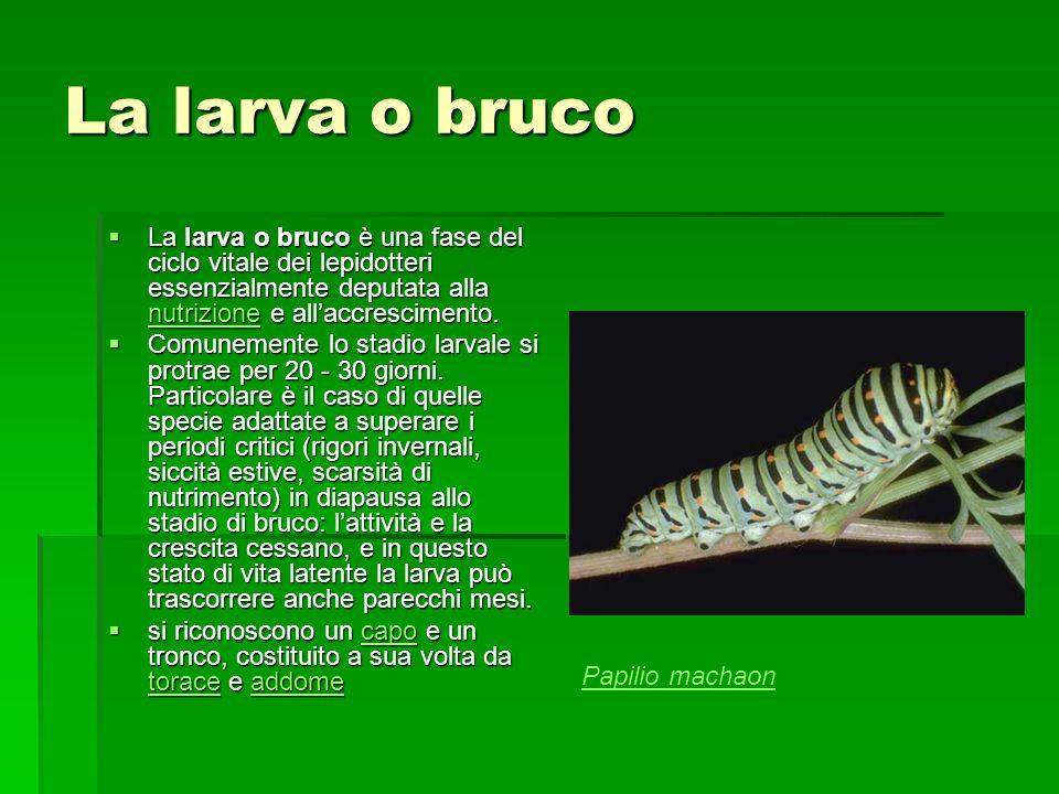 La larva o bruco La larva o bruco è una fase del ciclo vitale dei lepidotteri essenzialmente deputata alla nutrizione e all'accrescimento.