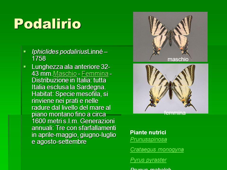 Podalirio Iphiclides podaliriusLinné – 1758