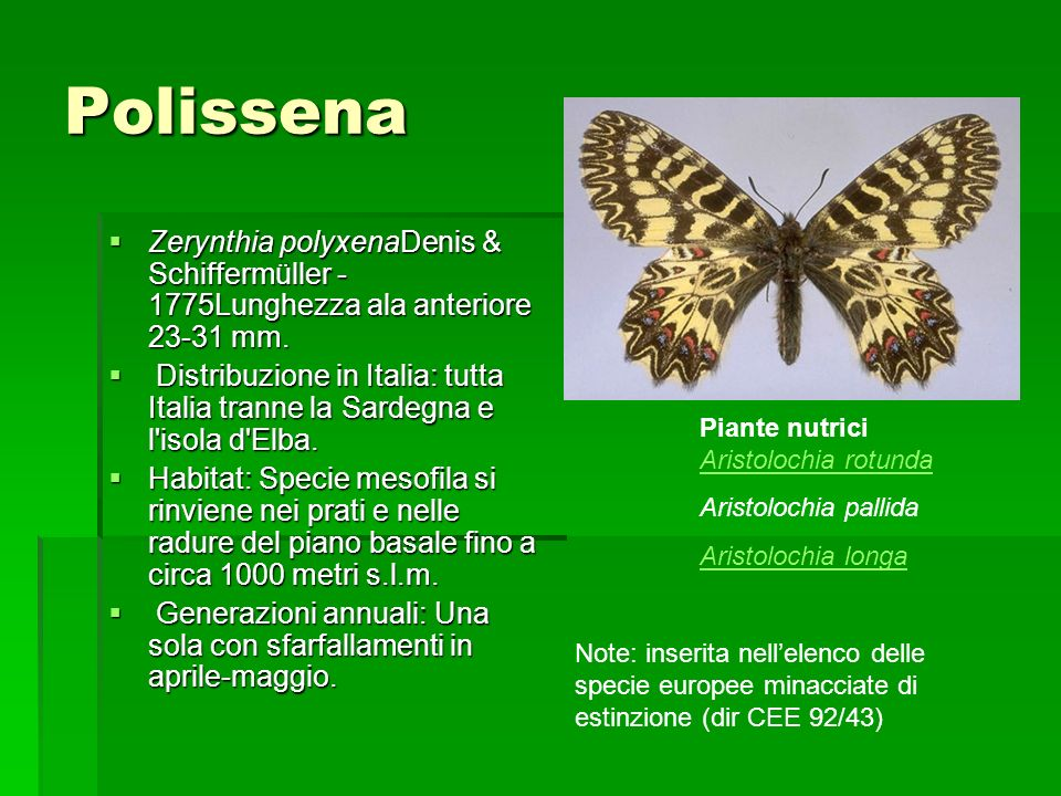 Polissena Zerynthia polyxenaDenis & Schiffermüller - 1775Lunghezza ala anteriore 23-31 mm.