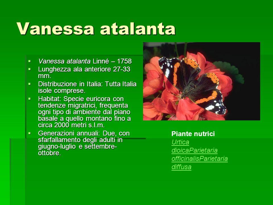 Vanessa atalanta Vanessa atalanta Linné – 1758
