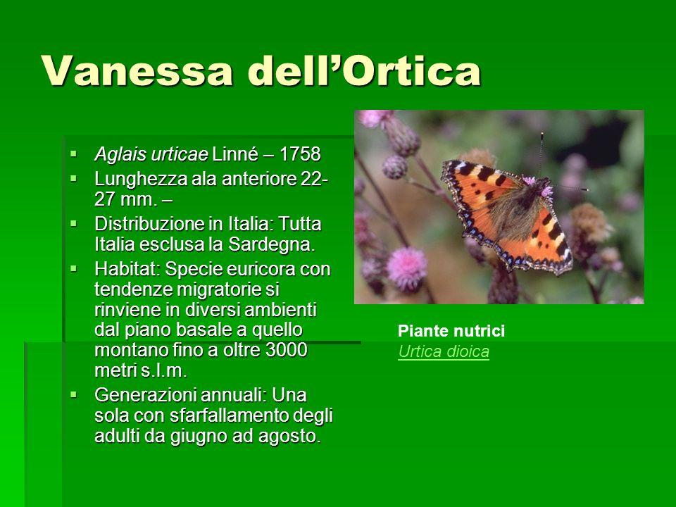 Vanessa dell'Ortica Aglais urticae Linné – 1758