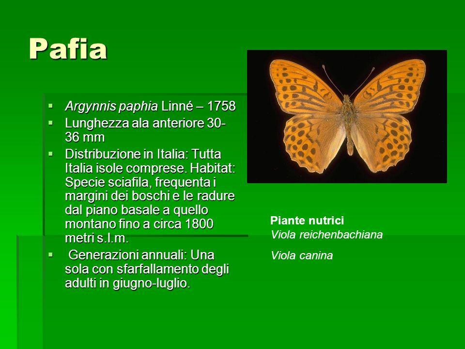 Pafia Argynnis paphia Linné – 1758 Lunghezza ala anteriore 30-36 mm
