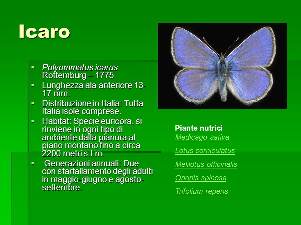 Icaro Polyommatus icarus Rottemburg – 1775